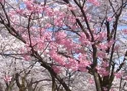 村松公園 桜 見どころ