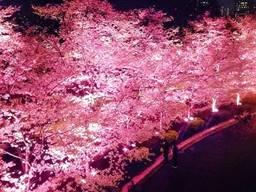 東京ミッドタウン 夜桜