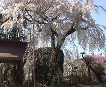 長瀞 法善寺 しだれ桜