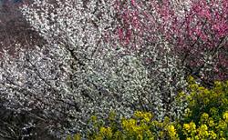 白梅 赤梅 菜の花
