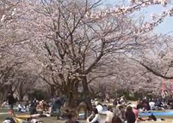 満開の桜 シートを広げてお花見する人々