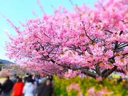 河津桜まつり 日程
