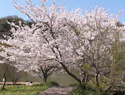 桜まつり 開催
