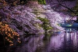 北の丸公園 夜桜