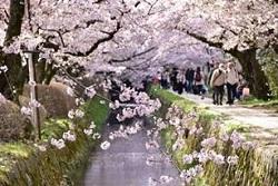 哲学の道 桜のアーチ