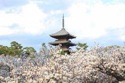 仁和寺 桜の名所