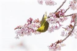 伊豆河津桜 周辺