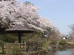 村松公園 満開の桜