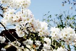 長瀞の桜 見どころ