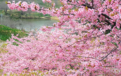佐久間ダム公園 桜