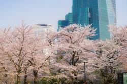 東京ミッドタウン 花見