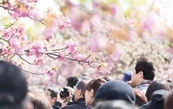 桜とたくさんの花見客
