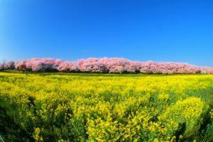幸手権現堂桜堤 菜の花