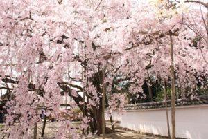 醍醐寺 三宝院 しだれ桜