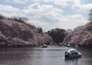 井の頭恩賜公園 桜 井の頭池 ボート