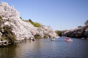 井の頭恩賜公園 井の頭池 桜 ボート 青空