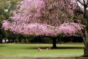 桜 鹿 奈良公園