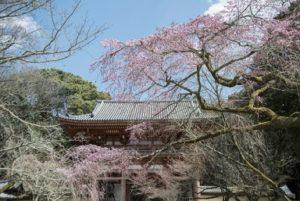 醍醐寺 総門 桜