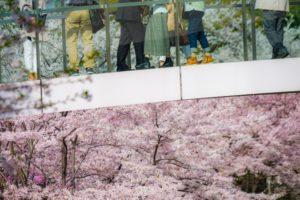 桜 満開 歩道橋