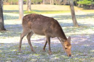 鹿と地面に積もった桜吹雪