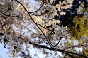 井の頭文化園 桜