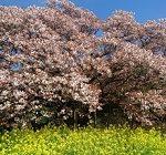 吉高の大桜 開花