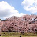 京都醍醐寺 桜 見頃