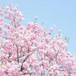 箱根 桜 お花見