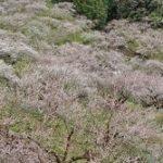 賀名生梅林2019の見頃と開花!ランチおすすめや混雑は?