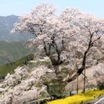 高知ひょうたん桜2020年の見頃と開花状況!屋台やライトアップは?