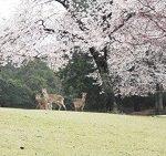 奈良公園 桜 見頃