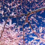 東京 夜桜