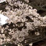 京都清水寺の桜2019の見頃と開花予想!ライトアップや屋台は?