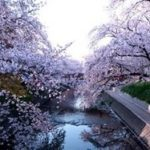 岩倉五条川の桜並木2020の見頃と開花!桜まつりやライトアップは?