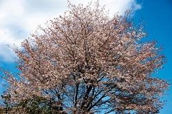吉高の大桜 満開