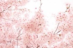 鎌倉 桜 開花時期