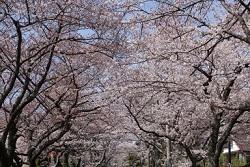 伊豆高原 桜 名所