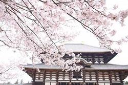 奈良公園 桜 名所