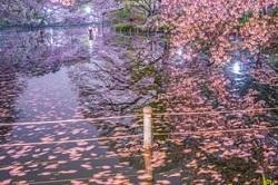桜 井の頭恩賜公園