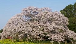 吉高の大桜 見どころ