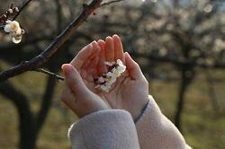 梅 開花 混雑