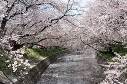 岩倉五条川桜まつり 期間