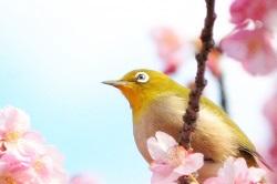 鎌倉 お花見