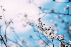 桜 開花状況 見どころ