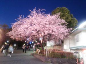 上野恩賜公園 夜桜