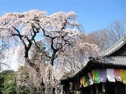 京都醍醐寺 桜