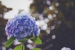 あじさい 見頃 開花