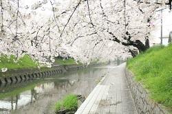 岩倉五条川 桜並木