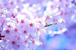 桜 箱根強羅公園