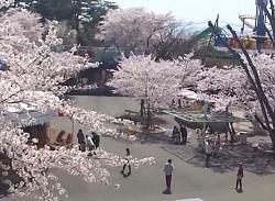 華蔵寺公園 桜